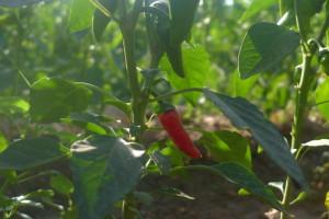 100% organic chili